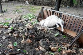 Las lluvias causan daños en 90 casas y entre 100 y 200 fincas agrarias de Pollença