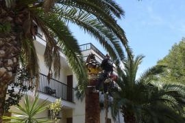 Unas 350 palmeras de la Isla han muerto por la plaga del escarabajo asiático
