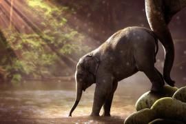 Los elefantes asiáticos cuentan (casi) como los humanos