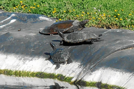 La UIB estudia qué hacer con las tortugas que habitan las dos lagunas del campus