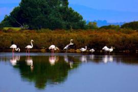 Flamingos Saliners