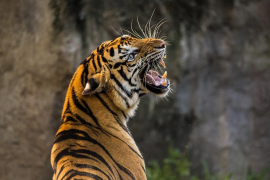 Una masa enfurecida golpea y atropella a una tigresa asesina en la India