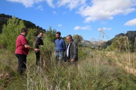 La finca de Raixa recuperará el antiguo olivar con germoplasma
