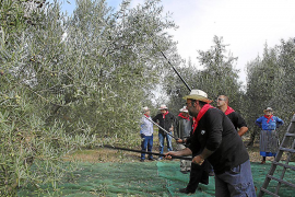 Las ventas de aceite de la DO Oli de Mallorca aumentan un 6,2% en 2011