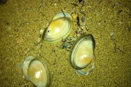 Conchas por toda la playa 12/12/2011