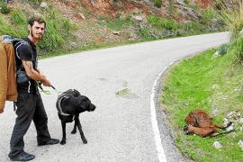 Investigan el hallazgo de varias cabras muertas en una carretera de Andratx