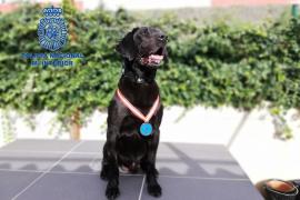 Reconocimiento a Doky, el agente canino detector de explosivos de la Policía de Baleares