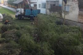 Se inicia la tala de los 15 pinos emblemáticos y enfermos de Artà
