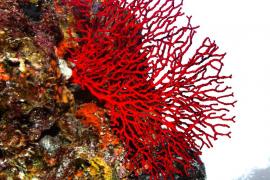 El Gobierno establece una veda para el coral rojo en las Islas del 30 de noviembre al 1 de abril