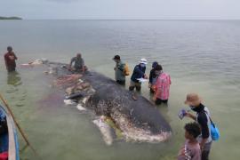 Aparece un cachalote muerto con casi seis kilos de plástico en el estómago