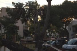 Cae un pino en Palma por el mal tiempo