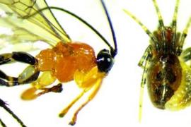Descubren una avispa que convierte arañas en 'zombies' a sus órdenes