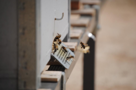 Alertan de que la pérdida de hábitat en la costa de Mallorca afecta a sus abejas, avispas y flora