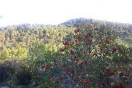 Madroños en la cima (Montaña entre Son Vida y Puigpunyent)
