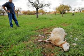 «Unos perros me han matado más de 80 ovejas en lo que llevamos de año»