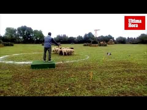 Los perros de Miquel Adrover se coronan como los mejores pastores de las Balears