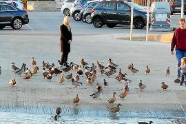 Más de un centenar de patos ponen en peligro la circulación y provocan accidentes en Andratx