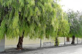 Sant Joan eliminará todos los árboles pimenteros por los daños que causan al alcantarillado