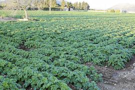 Las «extrañas» temperaturas pueden adelantar el ciclo de la patata temprana