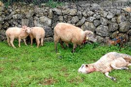 Un payés de Sencelles mata a tiros a un perro que atacó a sus ovejas