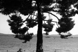 El pi de Formentor.