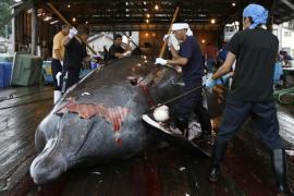 Japón reanudará la caza comercial de ballenas en julio de 2019