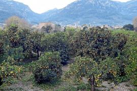 La campaña de clementina en Sóller dobla la producción respecto al año anterior