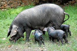 Agricultura destina 180.000 euros a ayudas a las razas autóctonas