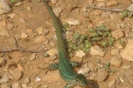 Sargantana de Formentera
