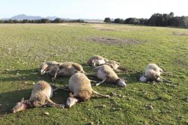 Dos perros entran en una finca de Porreres y matan 50 ovejas y corderos