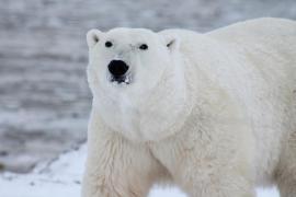 Un oso polar 'asalta' un submarino nuclear en busca de comida