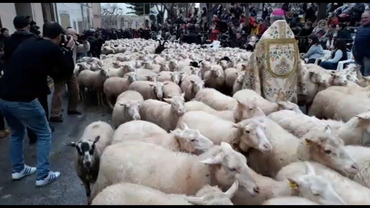Desfile de animales en las Beneïdes de Muro