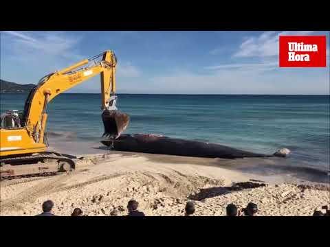 Una ballena aparece muerta en Cala Millor