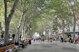Los ejemplares de olmo, ficus y pino irán desapareciendo de las calles de Palma