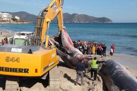 La ballena aparecida muerta en Cala Millor tenía dos cortes profundos de hélice