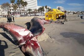 En marcha la necropsia de la ballena varada en Cala Millor