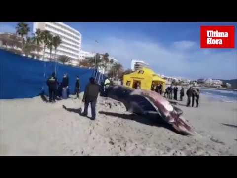 La ballena varada en Cala Millor estaba enferma