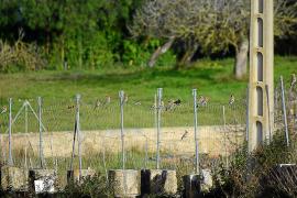 Los ornitólogos detectan un aumento espectacular de la población de 'puputs'