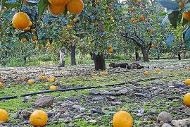 Preocupación en el sector de la naranja por los bajos precios y la falta de mercado