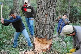 El alcalde sólo autorizará a 20 personas a cruzar Ternelles para talar el pino