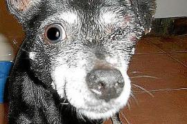 Localizan malherida a una perra a la que sacaron un ojo a golpes en Ses Cadenes