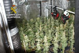 Detenido en Pollença por tener una plantación de marihuana en su casa