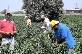 Unió de Pagesos traerá este año más de 300 temporeros colombianos