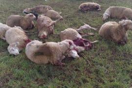 Dos nuevos ataques de canes a ovejas, en Inca y Binissalem, indignan a la payesía
