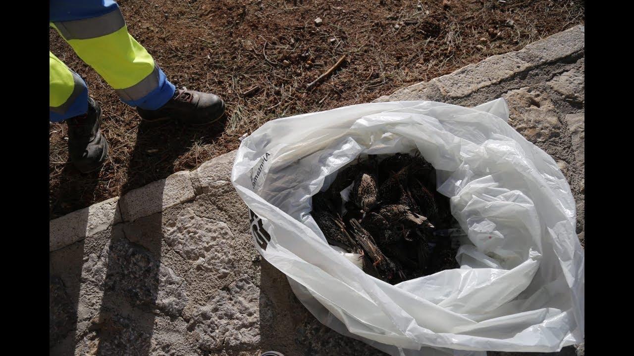 Hallan de nuevo numerosos estorninos muertos en Dalt Murada