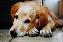 Treinta perros en peligro de sacrificio desfilarán en Son Reus en busca de un hogar