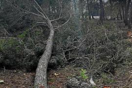 Los vecinos de Cala Vinyes denuncian una nueva tala ilegal de pinos
