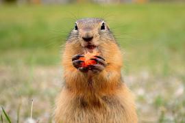 La marmota Manolo predice que la primavera llegará pronto