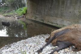 Ecologistas alertan del abandono de animales muertos en el torrente de Solleric en Sencelles
