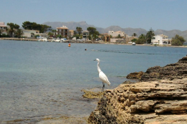 Pajaro tomando el sol (Playa es clot Alcudia)